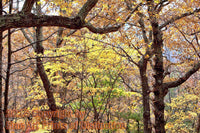 Fall Leaves Framed by Gnarled Knotty Trees