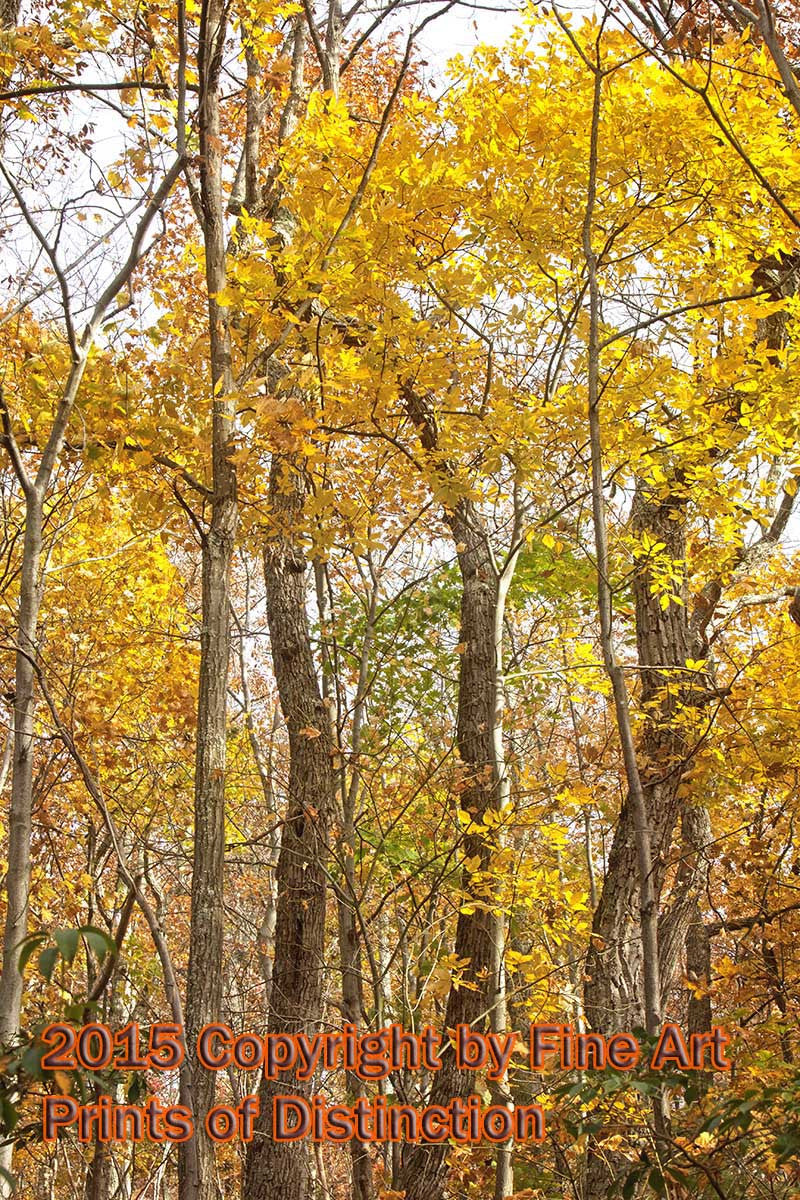 Yellow Leaves In The Tall Trees Fall Art Print Brandywine General Store