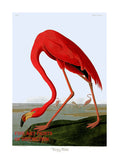 American Flamingo by John James Audubon Art Print