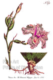 Iris Chinese with Purple Bloom & Root Section Art Print
