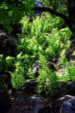 Ferns in the Sunshine at Dolly Sods Art Print