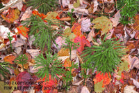 Christmas Tree Ferns Surrounded by Fall Leaves