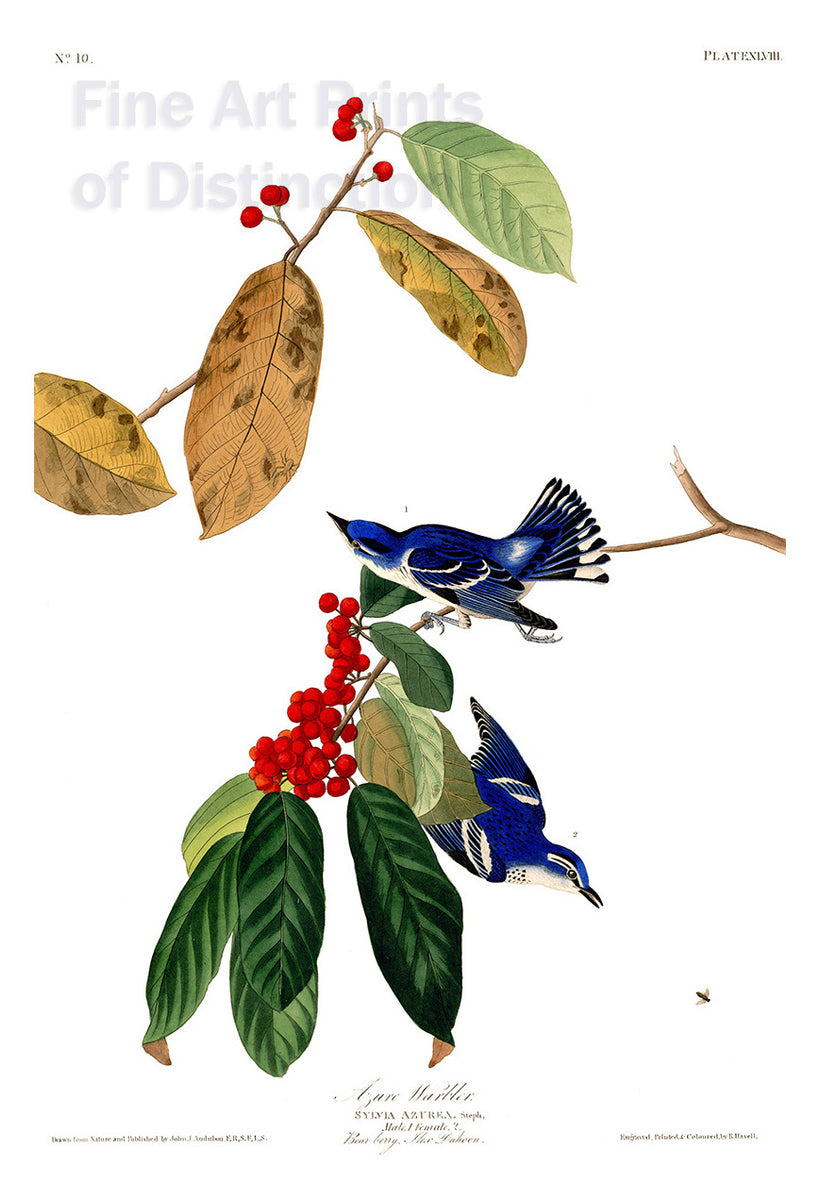 Azure Warbler by John James Audubon
