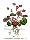 Round Leaved Cyclamen or Persian Violet Botanical Print