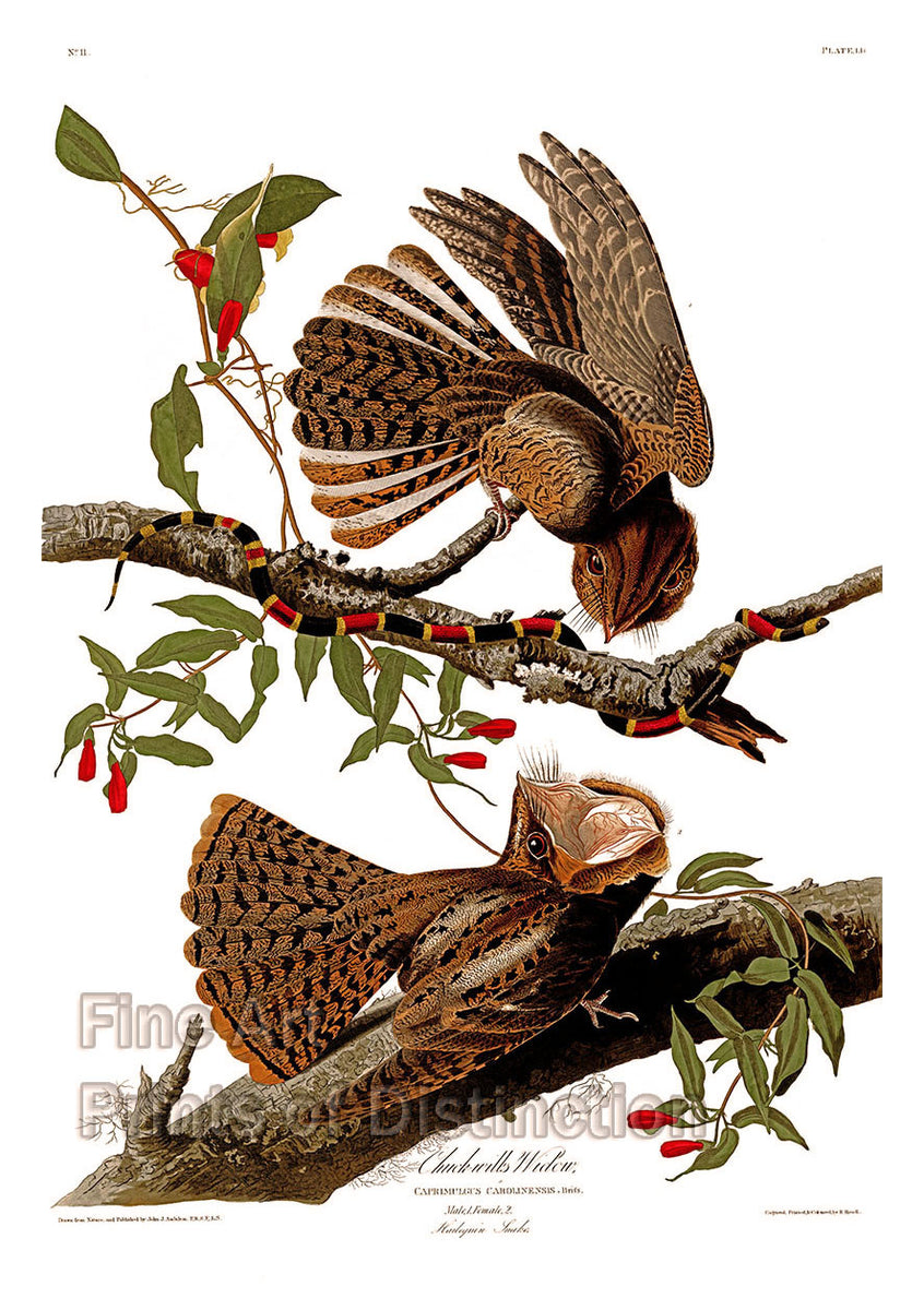 Chuck-will's widow by John James Audubon