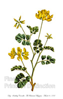 Day Smelling or Sea Green Coronilla Art Print