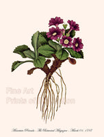 Primula Mountain - Purple Bloom Botanical Print