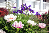 A Colorful Flower Bed at the Porch Botanical Art Print
