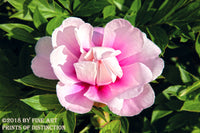 Pink Tree Peony Coming in Bloom botanical art print