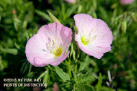 Pair of Pink Mallow Blooms botanical art print