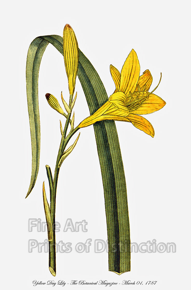 Day Lily Art Print