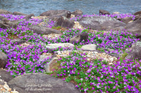 Petunias with Purple Blooms Growing in a Rocky River Bed premium print