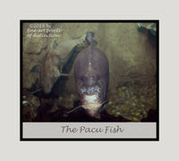 Pacu Fish with Eyes Wide Open premium poster