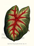 Caladium Bicolor variety Brongniartii by Louis Van Houtte