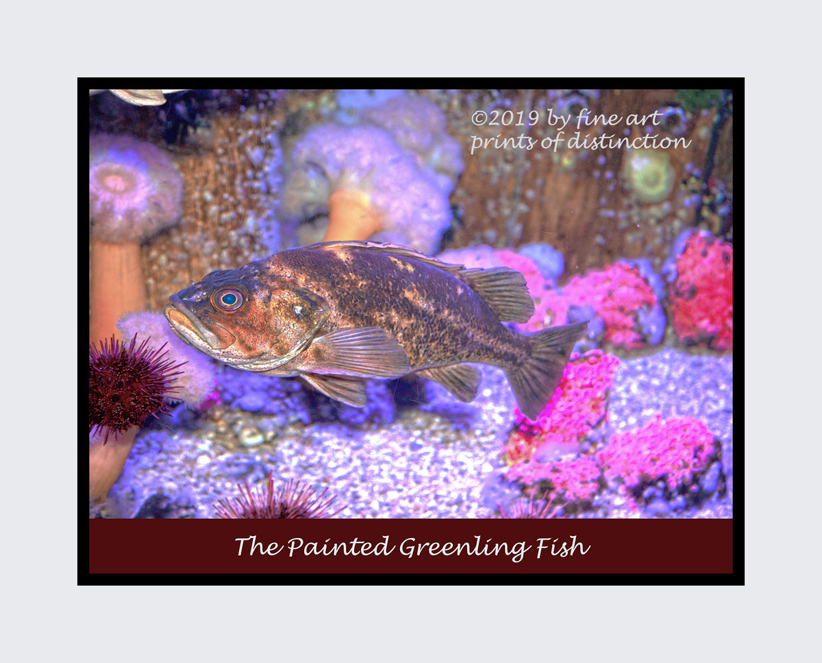 Painted Greenling Fish premium poster