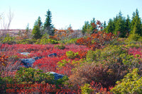 Red Bushes, Brown Leaves, Green Trees and Rocks at Dolly Sods