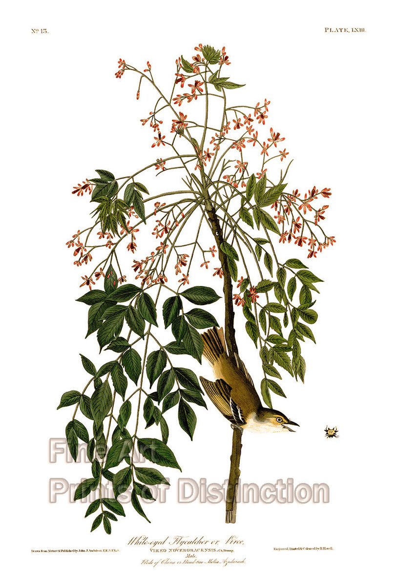 White Eyed Flycatcher by John James Audubon