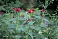 A premium artwork print of A trio of Crimson Bee Balm wild flowers