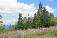 a premium print of a Grove of Wind Swept Spruce and White Wild Flowers on top of Spruce Knob Mountain in WV