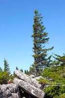 A premium print of One Sided Spruce Tree in the Rocks at Dolly Sods