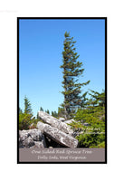 A premium poster of One Sided Spruce Tree in the Rocks at Dolly Sods
