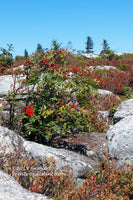 A premium art print of Fall Colors Among the Large Boulders of Dolly Sods