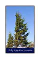 Father and Son Red Spruce Trees premium poster
