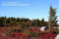 Red Blueberries and Tall Spruce in Dolly Sods Wilderness Area