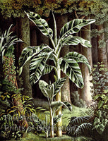 Striped Leaf Banana Tree by Louis Van Houtte