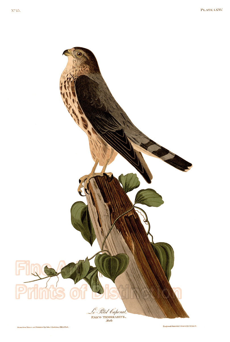 LIttle Caporal or Pigeon Hawk by John James Audubon