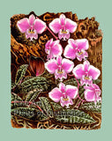 Moth Orchid by Van Houtte