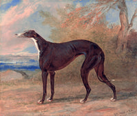 One of George Lane Fox's Winning Greyhounds, the Black and White Greyhound Bitch, Juno by George Garrard