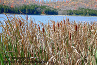 Cattails at Spruce Knob Lake Art Print