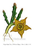Variegated Stapelia Cactus from the Curtis Botanical Magazine