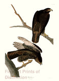 Black Warrior by John James Audubon