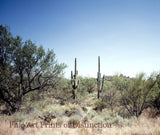 Tall Cactus in the Sagebrush Scenic Landscape