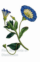 Convolvulus Tricolor or Bindweed Art Print