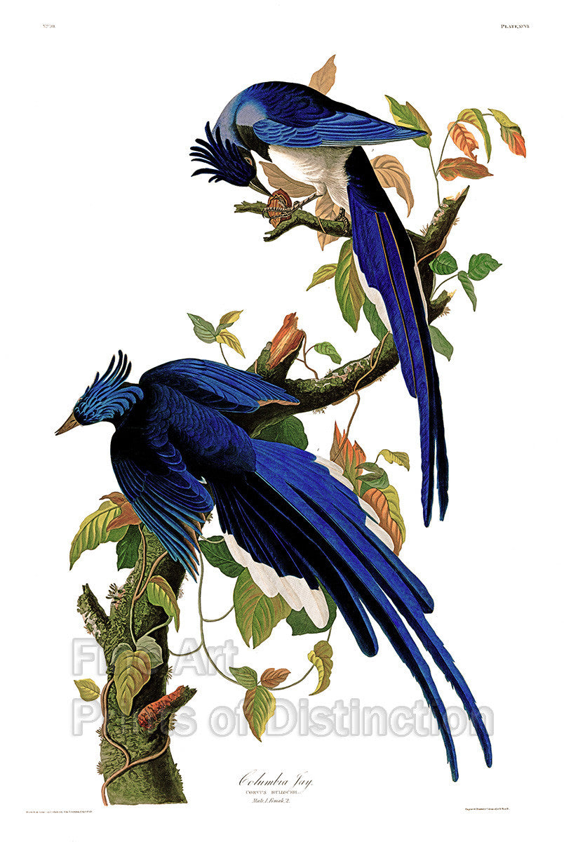 Columbia Jay or Magpie by John James Audubon