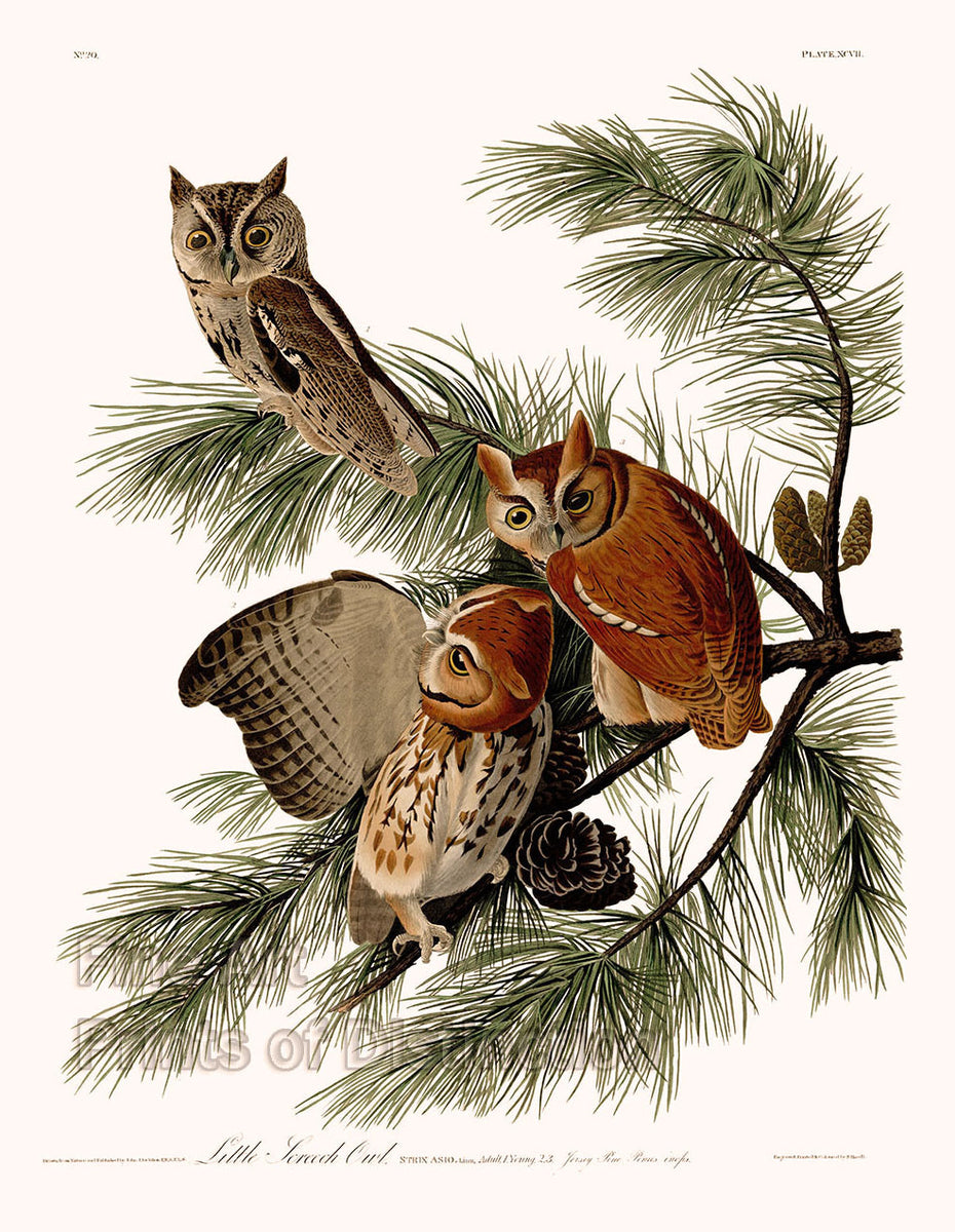 Little Screech Owl by John James Audubon