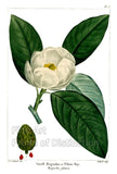 Small Magnolia or White Bay by Redoute Art Print
