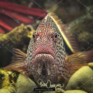 Blackside Hawkfish (S)