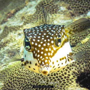 Whitley's Boxfish