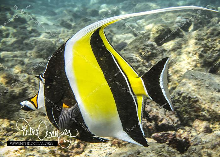 Moorish Idol Profile