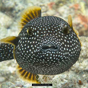 Black Spotted Puffer (S)
