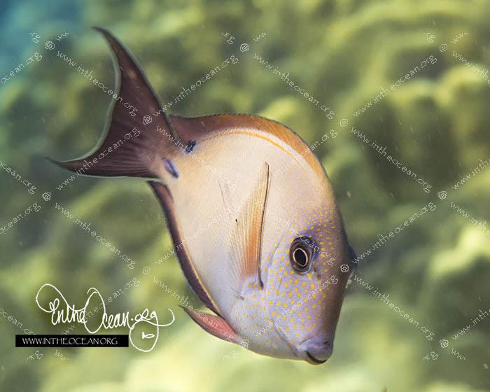 Brown Surgeonfish