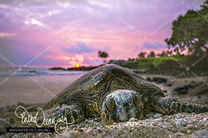 Turtle Pink Sunset
