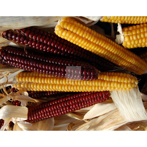 Abenaki Calais Flint Dry Field Corn Seed Certified Organic Heirloom-Field Corn Seed-Heirloom Seed Supply
