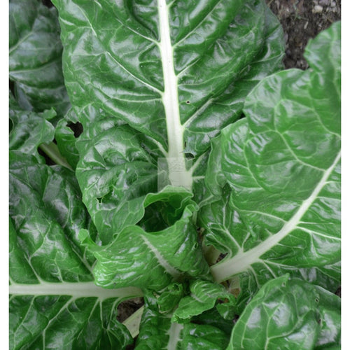 Argentata Chard Seed-Swiss Chard-Heirloom Seed Supply
