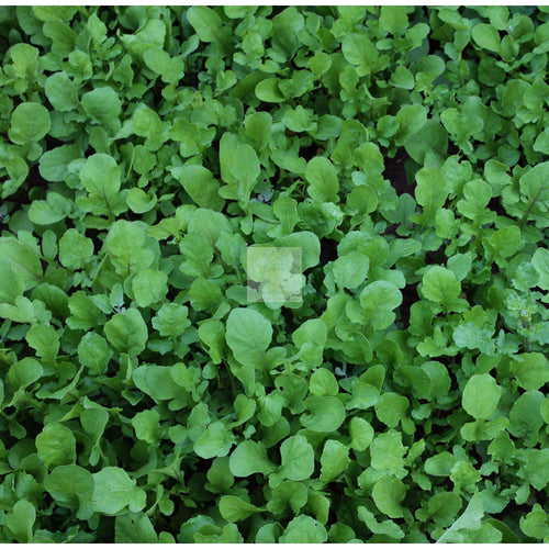 Rocket Arugula Seed Organic-Arugula Seed-Heirloom Seed Supply