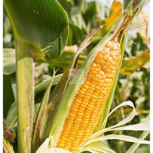 Ashworth Yellow Sweet Corn Seed Organic-Sweet Corn-Heirloom Seed Supply